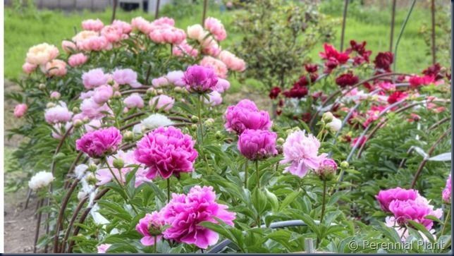 我が家の芍薬園
