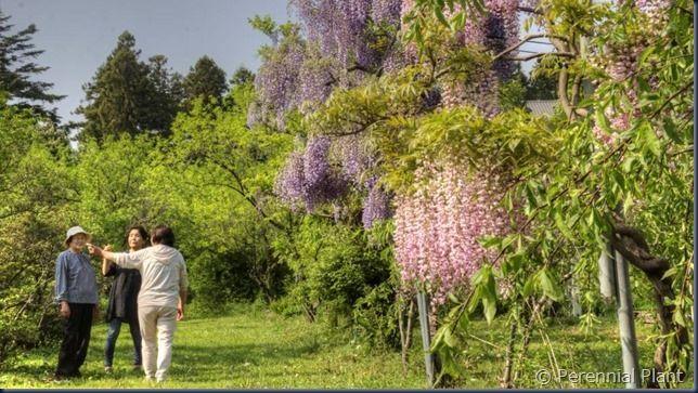楽美苑の藤