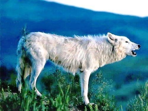 狼の画像 p1_6