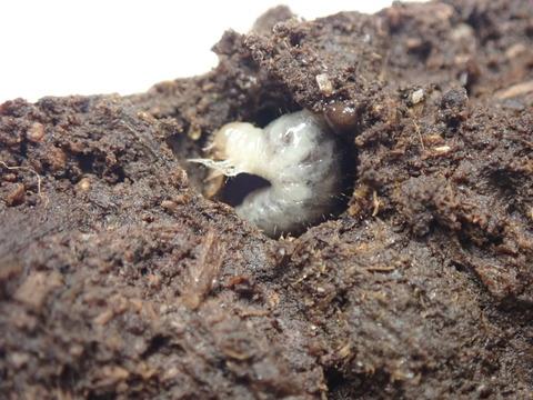 P7250145ウジを喰うエンマコガネ幼虫