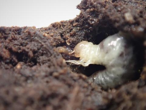 P7250151ウジを喰うエンマコガネの幼虫