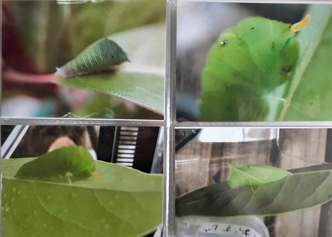20210704_144021アオスジアゲハの幼虫と蛹(葉はタブノキ))