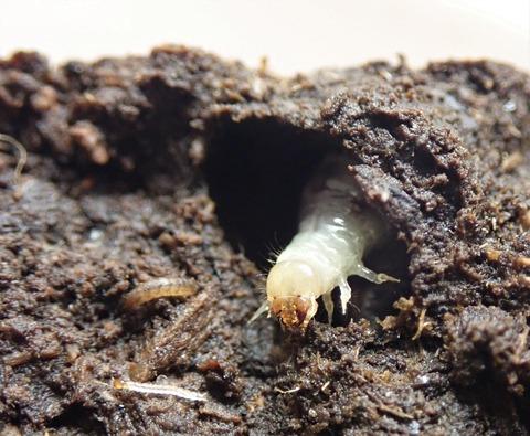 P7250092ウジを喰うエンマコガネ幼虫