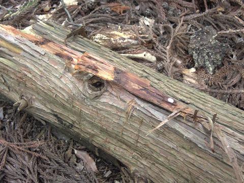 P5250663針葉樹樹皮下のクロツツ