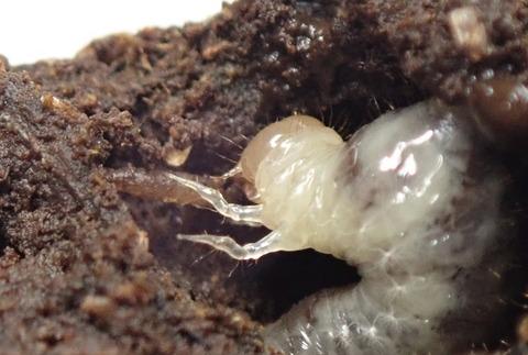P7250148ウジを喰うエンマコガネ幼虫