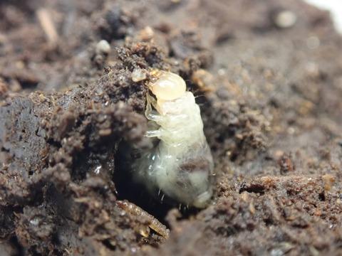 P7250135ウジを喰うエンマコガネ幼虫