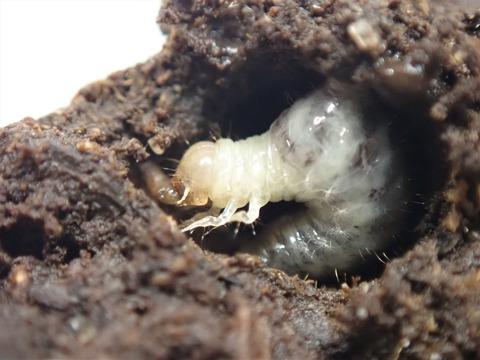 P7250155ウジを喰うエンマコガネ幼虫
