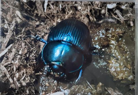 20210704_143936虫の糞を食べるルリセンチ