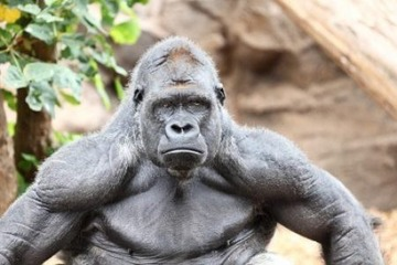 gorilla-muscle-vs-human-e1476069142820