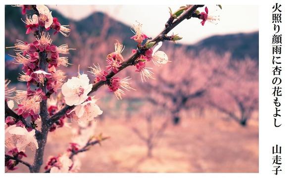 火照り顔雨に杏の花もよし