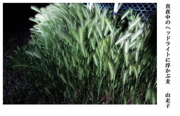 真夜中のヘッドライトに浮かぶ麦