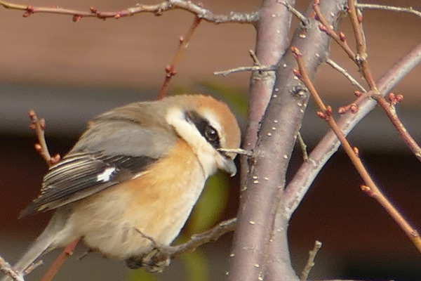 秋の鵙メス