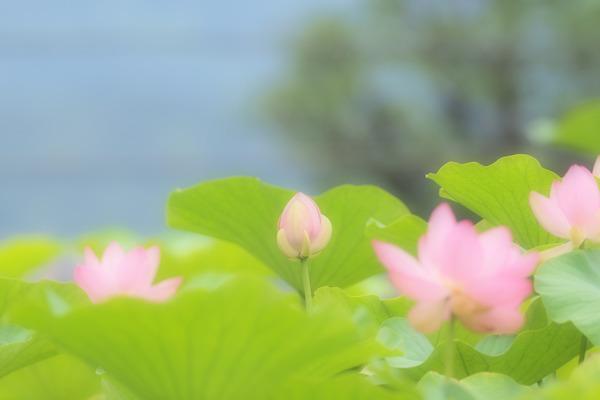 20118-07-06 蓮 (1 - 1)-2