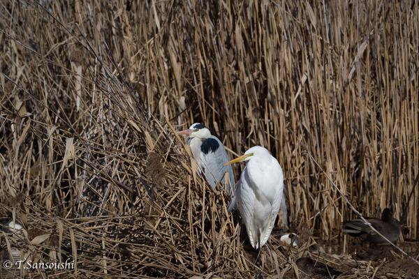 170215ダイサギ (1 - 1)-2