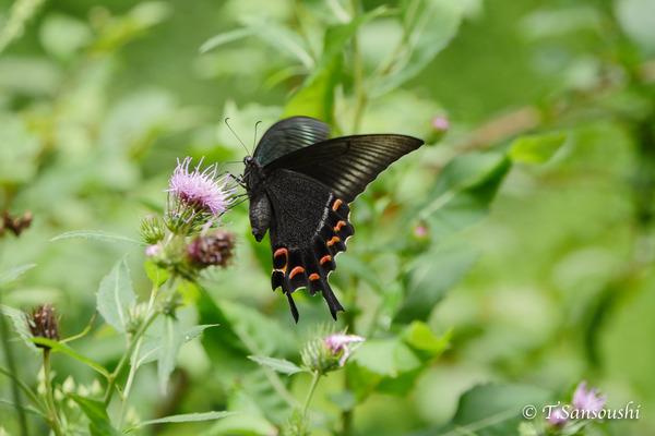 秋の蝶 (1 - 1)