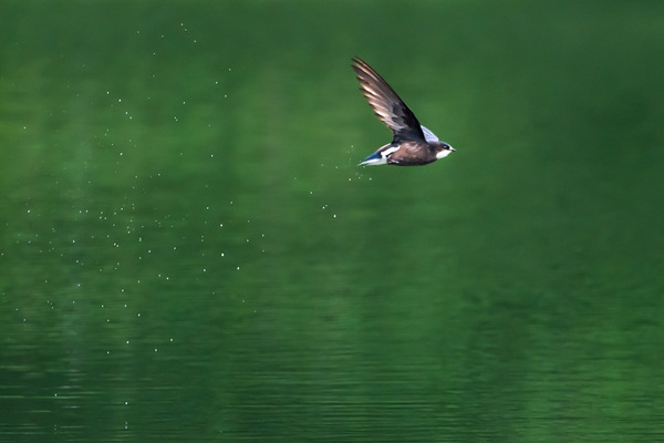 20118-07-11 ハリオアマツバメ (12 - 18)