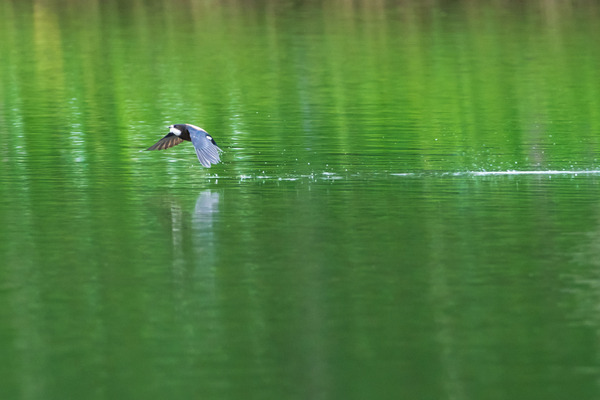20118-07-11 ハリオアマツバメ (17 - 18)