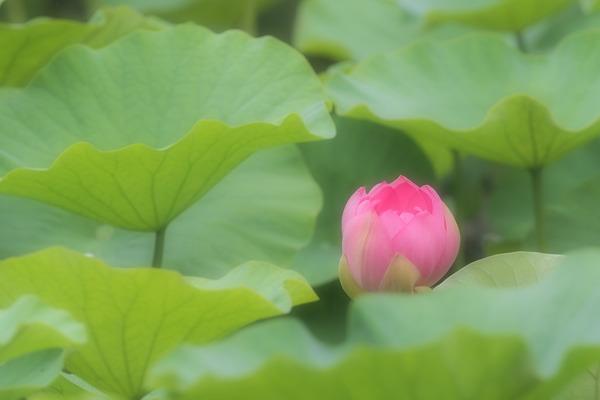 20118-07-06 蓮 (1 - 1)-5