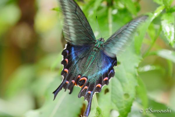 秋の蝶 (1 - 1)-2