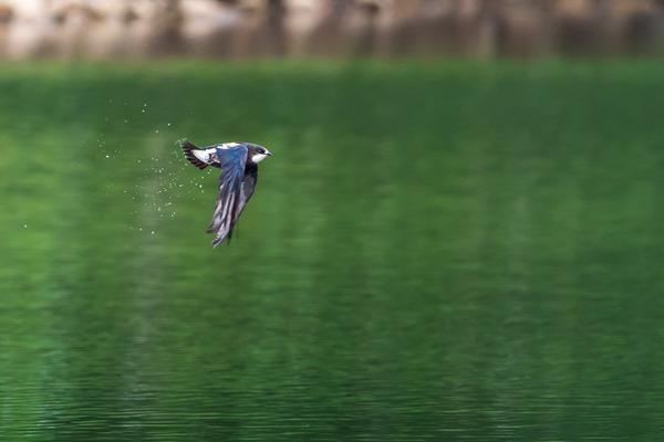 20118-07-11 ハリオアマツバメ (11 - 18)