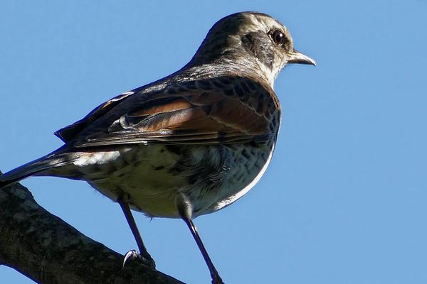 小鳥 (1 - 1)