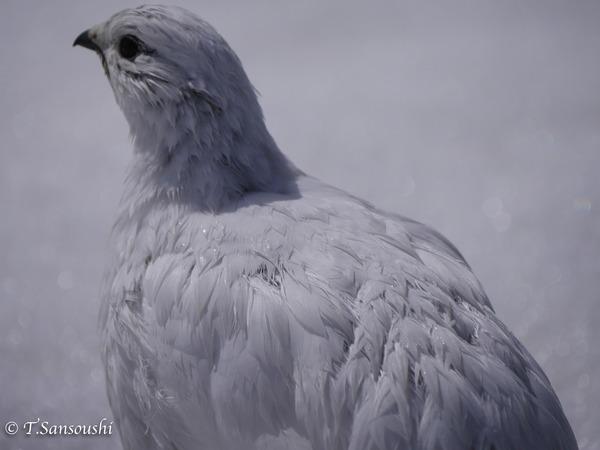 雷鳥 (1 - 1)