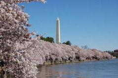 韓国の市民団体が日本からのワシントンへ送られた桜の起源を主張