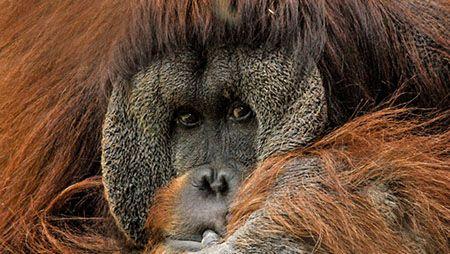 ポケモン化されてない動物、もはやオランウータンくらいしかいない