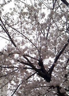 住吉本部教室の桜が満開です