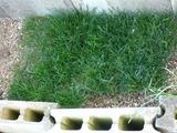 2011年年明けの駒場の芝