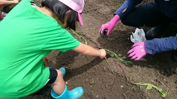 20150524サツマイモを植えた
