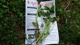 20150524サツマイモの苗