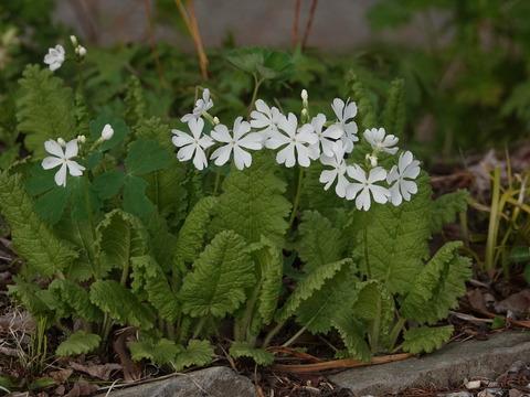 白花サクラソウ