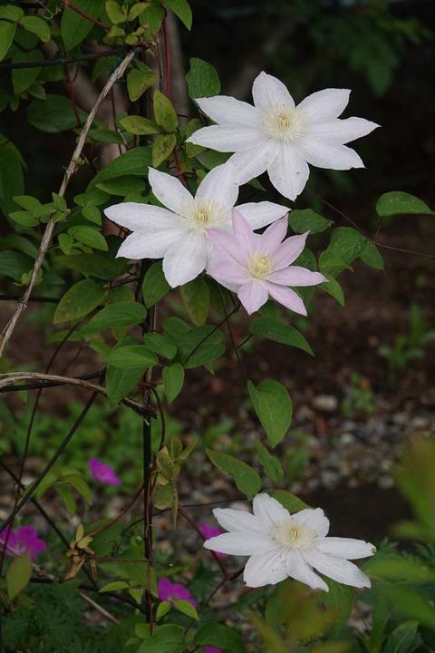 桜姫DSC05035