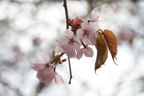 IMG_0102桜