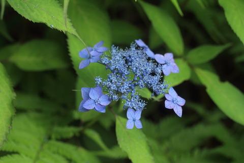 藍姫IMG_8488