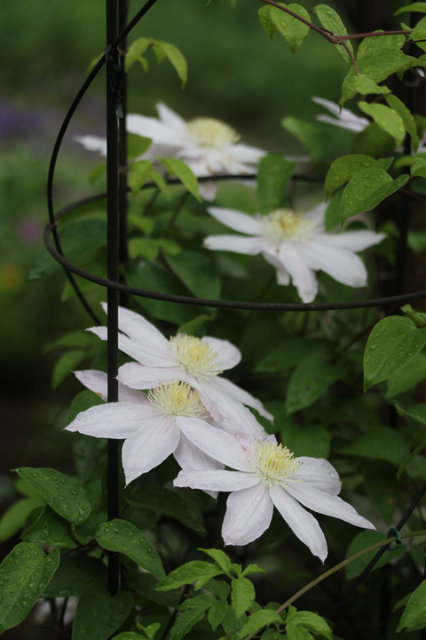 桜姫IMG_1893