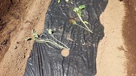 芋苗植え (2)