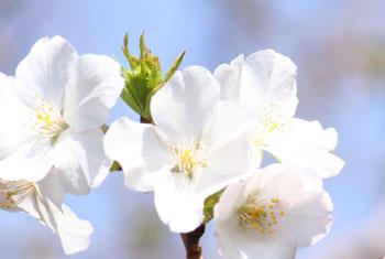 桜-潮騒の森