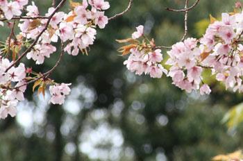 サクラ-神倉-1