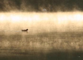 朝霧の中のカモ