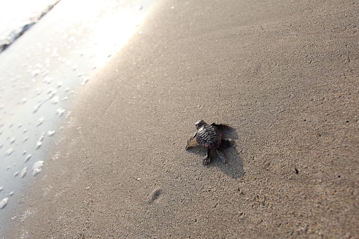 ウミガメの画像 p1_15
