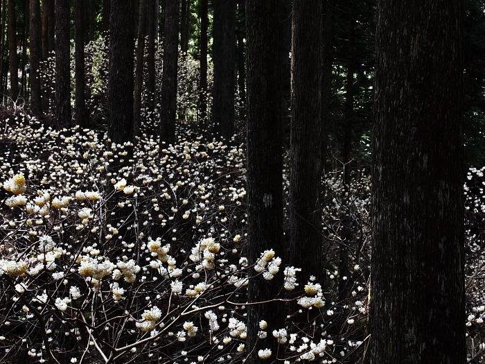杉林と白い花