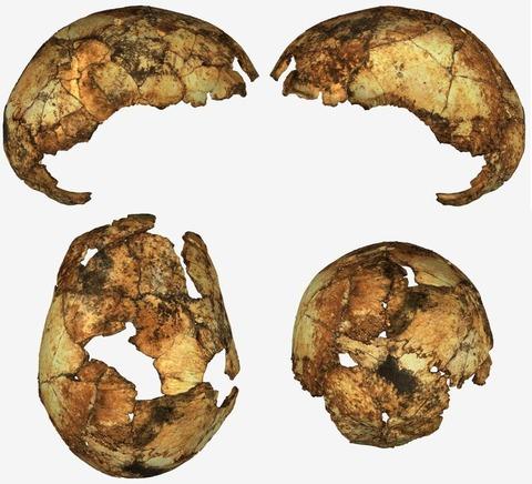 南アフリカ発見の初期のホモ・エレクトスの頭骨
