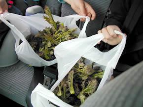 タラの芽が入った袋