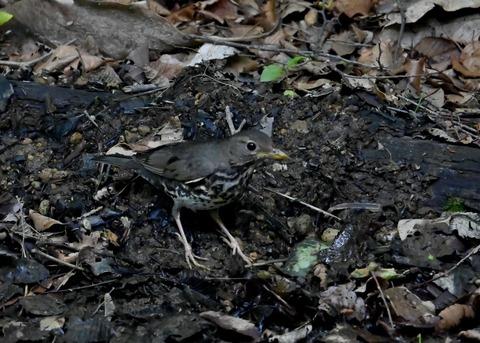 クロツグミ幼鳥6079