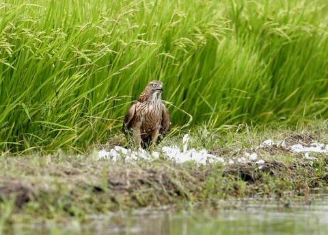 オオタカ若鳥3016
