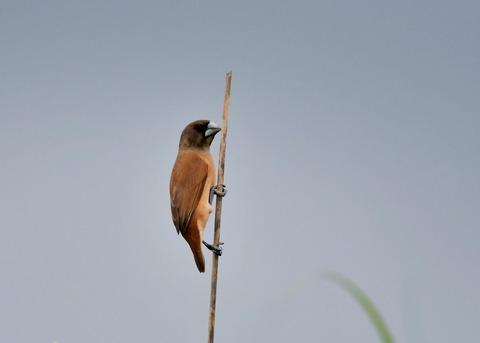 キンパラ幼鳥1963