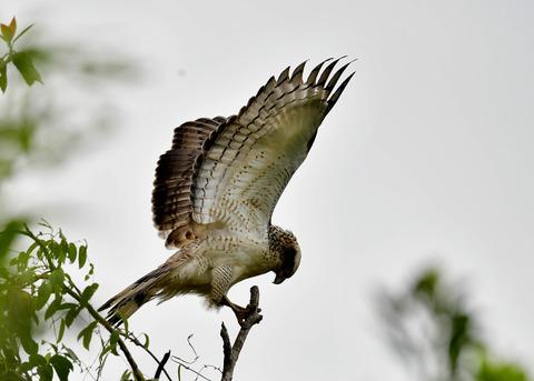 カンムリワシ若鳥6532