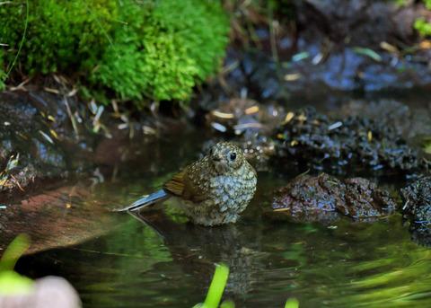 ルリビタキ幼鳥1883